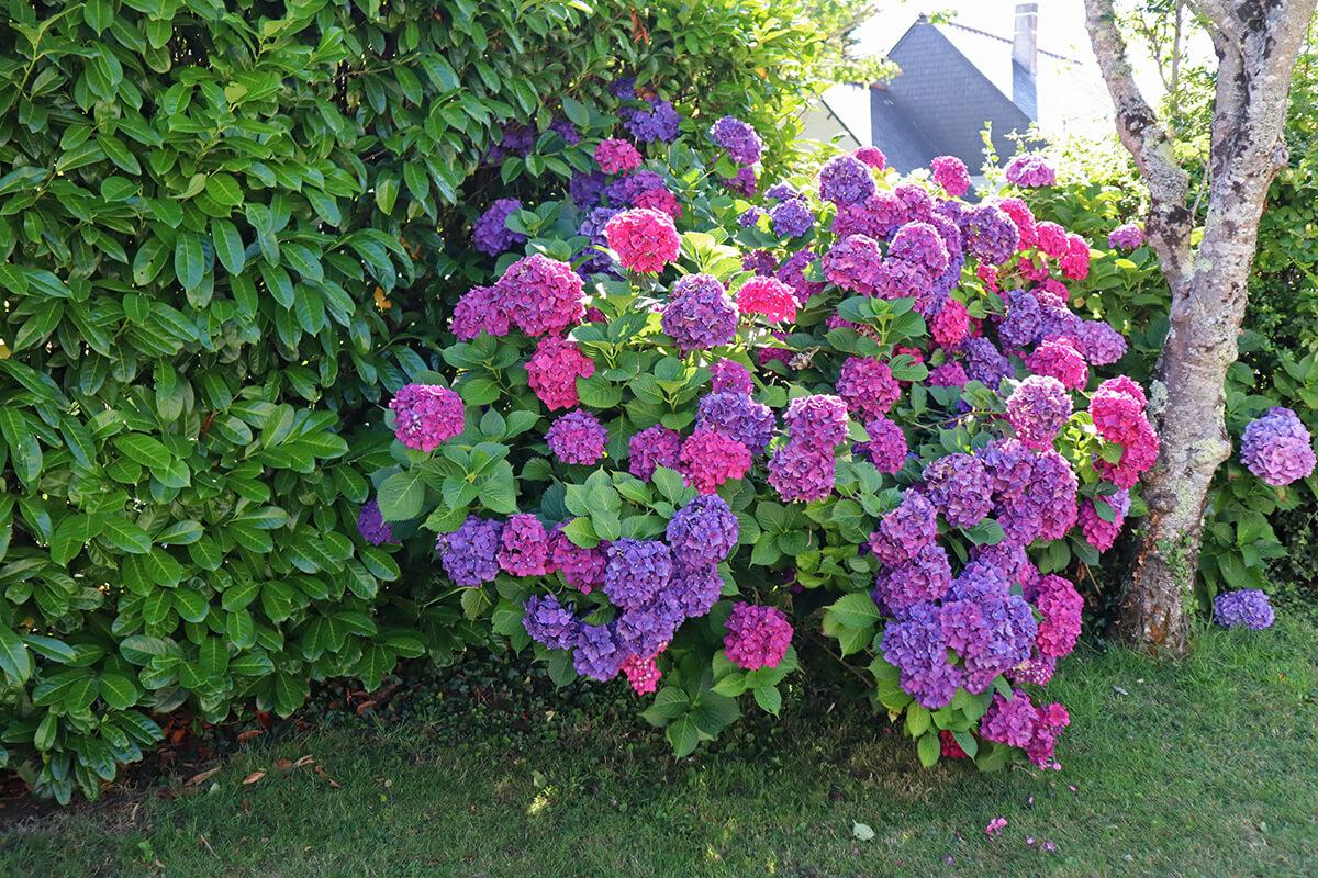 Hortensia dans le jardin